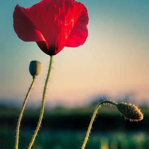 poppy-5311073_1920